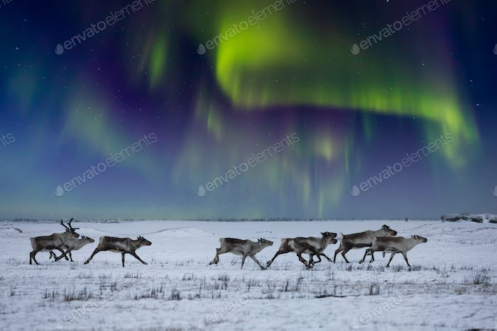 Wild reindeer on the tundra on the background of the Northern Lights.