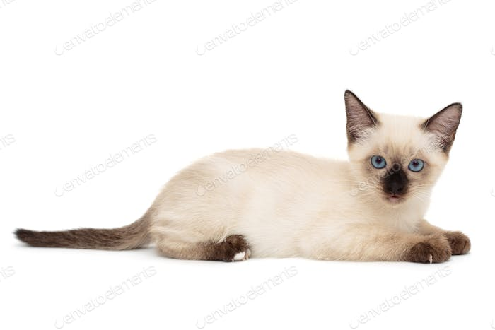 Small, funny Siamese kitten