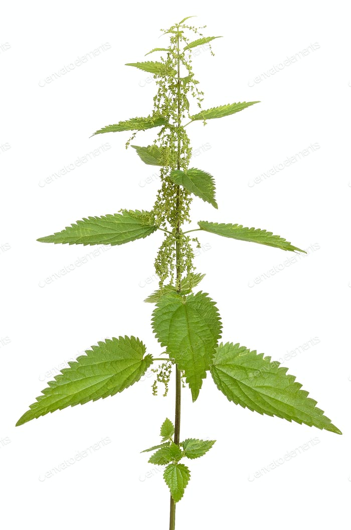 Urtica urens plant isolated on white background