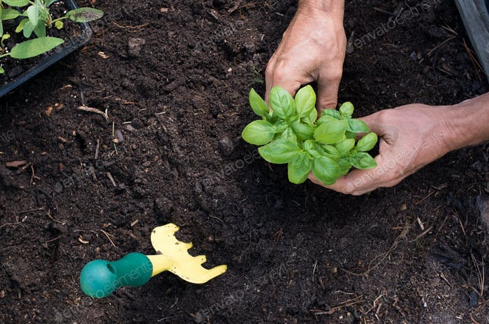 Mann, der Basilikum pflanzt