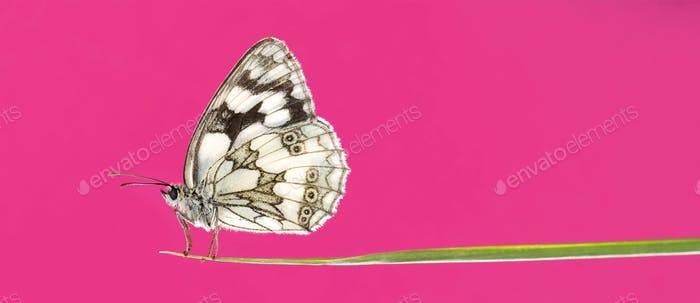 Marbled white, Melanargia galathea, on a blade of grass in front of a pink background
