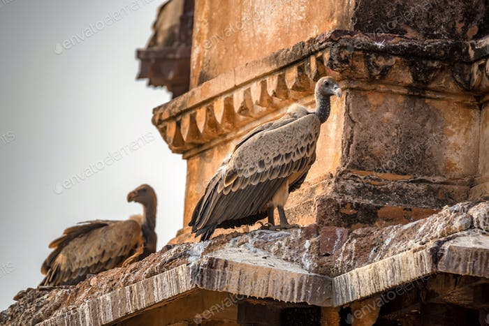 Indian vulture or Gyps indicus