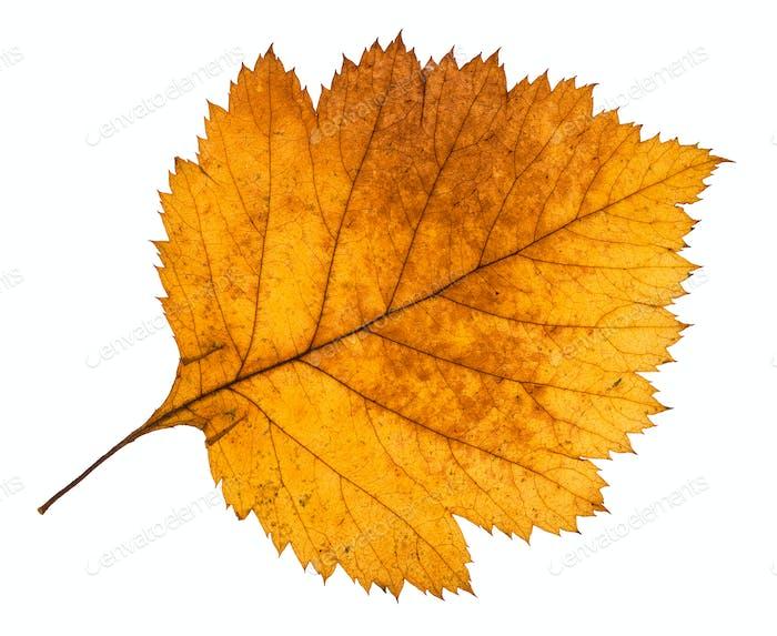 gelbes Herbstblatt von Weißdorn Baum isoliert