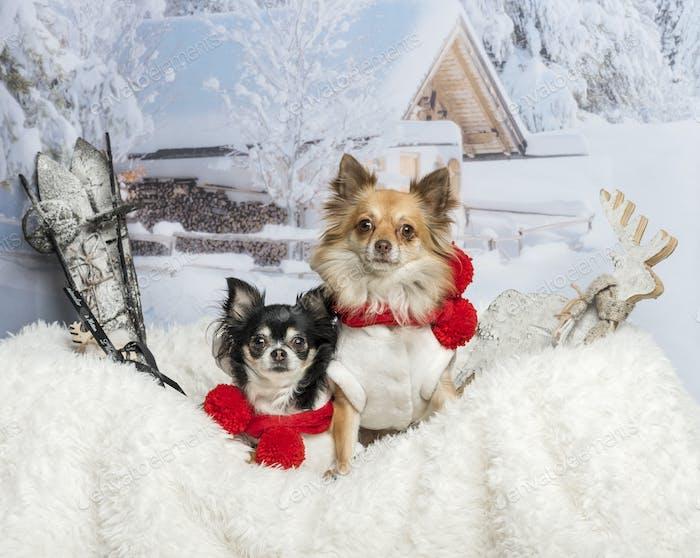 Chihuahuas sitzen zusammen auf Fell in Winterszene