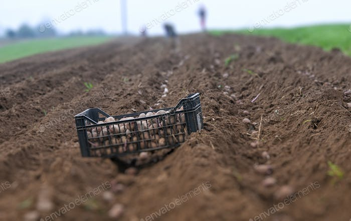 Kartoffelgrate