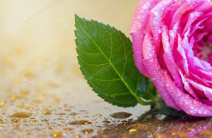 Spring, springtime - pink wet flower