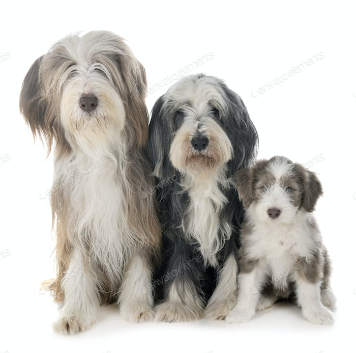 family bearded collie