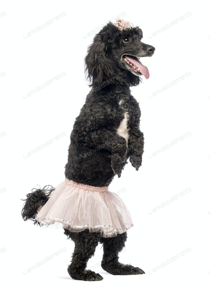Pudel, 5 Jahre alt, stehend, tanzen, trägt ein rosa Tutu und keucht vor weißem Hintergrund
