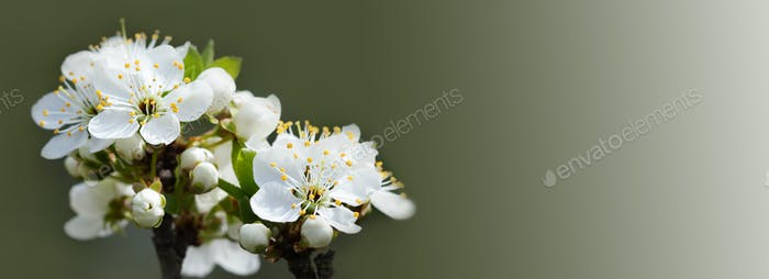 Soft and tender springtime garden landscape. Blossoming apple tree white flowers on green background