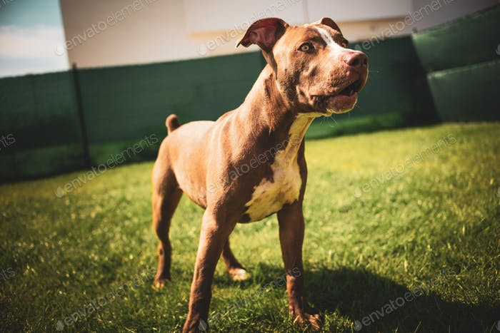 Young pitbull Staffordshire Bull Terrier in garden stands on grass with floppy ears background