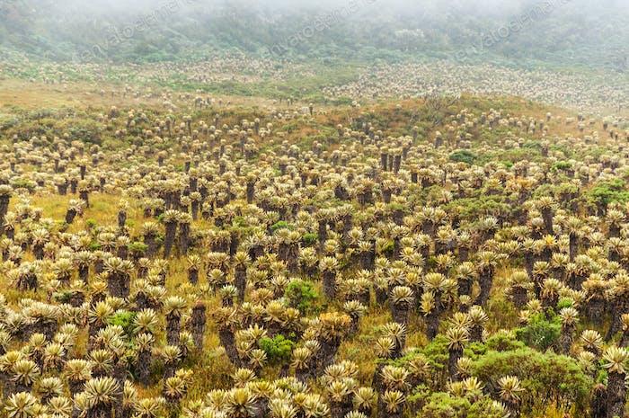 Frailejon Plants in Colombia