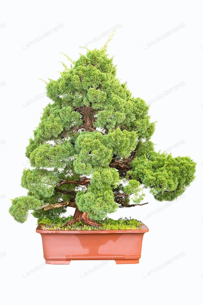 Bonsai-Baum der Zypresse