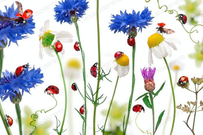 Seven-spot ladybird or seven-spot ladybugs on daisies, cornflowers and plants