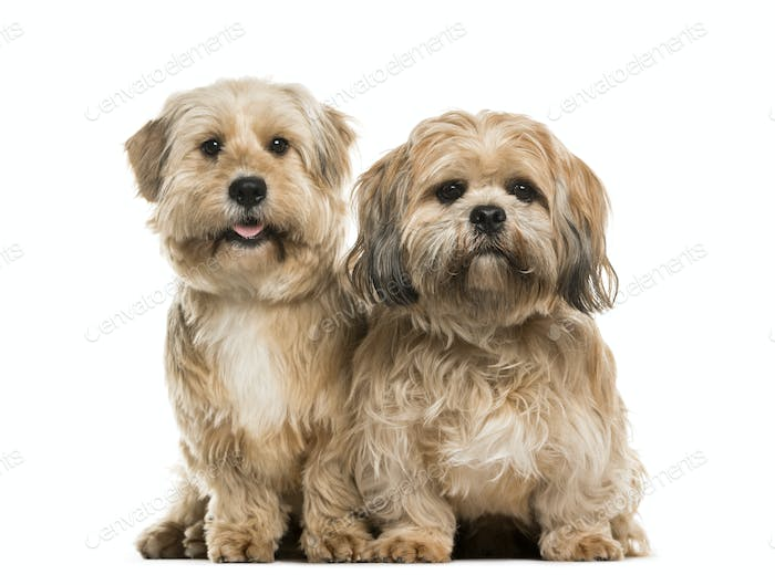 Two Lhasa Apso dogs sitting together, cut out