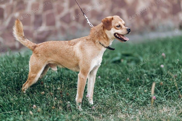 Süßer kleiner Hund auf einem Spaziergang in einem Park, braun lächelnder Hund atmen stark im Freien