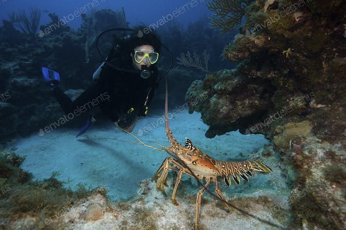 A spiny lobster (Panulirus argus) intimidates a scuba diver by waving its' antennae in a threatening