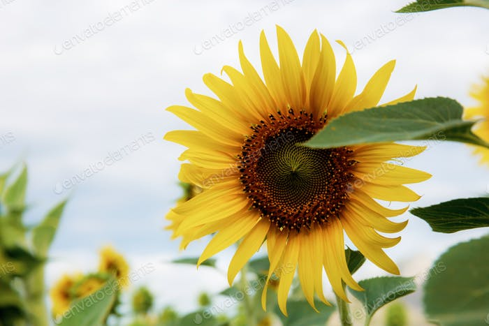 Sunflower with beautiful at sky