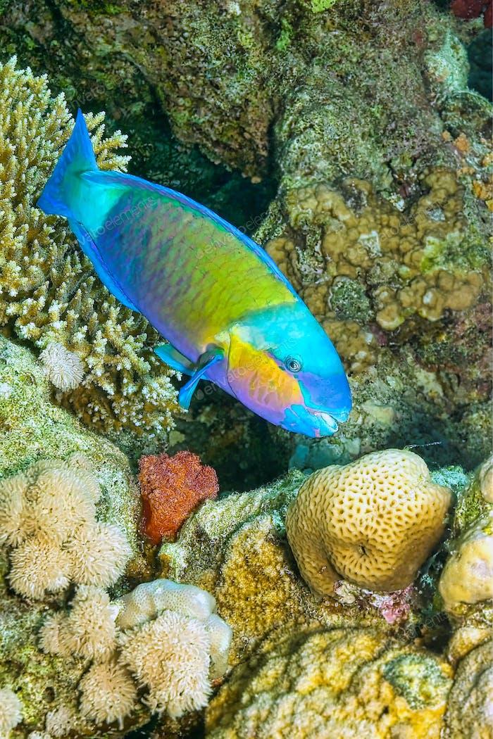 Parrotfish, Red Sea, Egypt