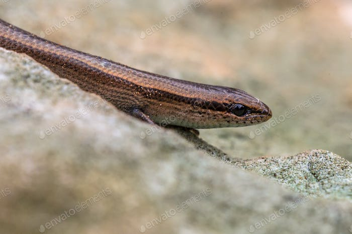 European copper skink on rock