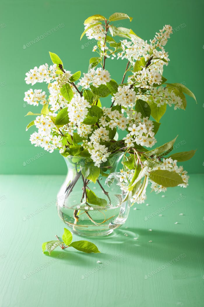 spring bird-cherry blossom in vase over green background