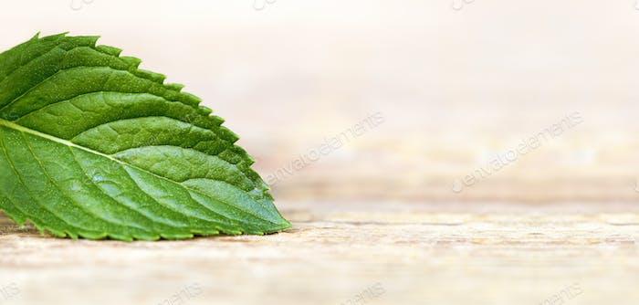 Healthy green mint leaf