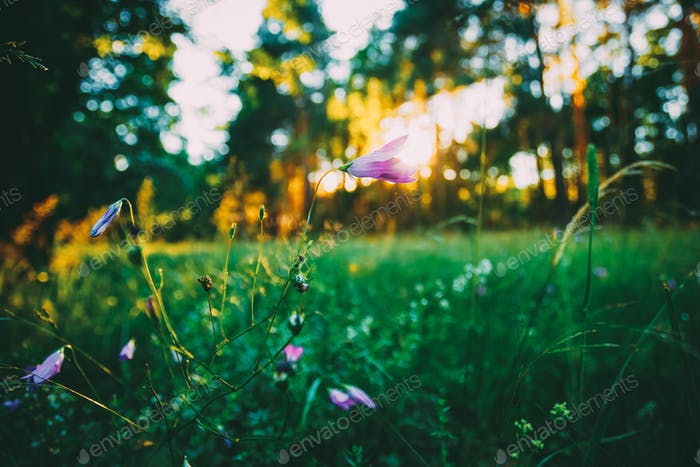 Wild Forest Flower, Sunlight In Forest, Russian Nature