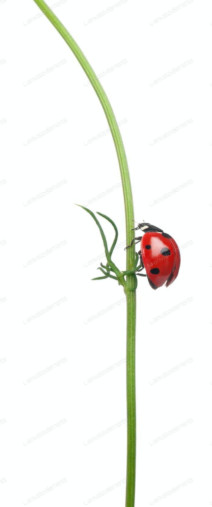 Seven-spot ladybird or seven-spot ladybug on a daisy, Coccinella septempunctata