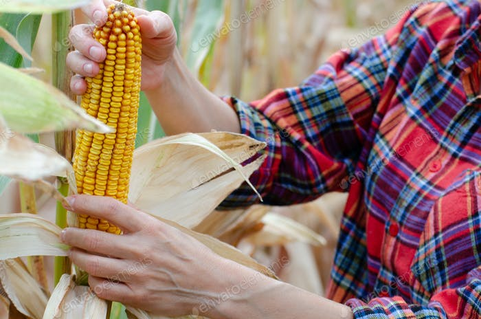 Female farm worker inspecting corn cobs at field sunny summer day closeup view