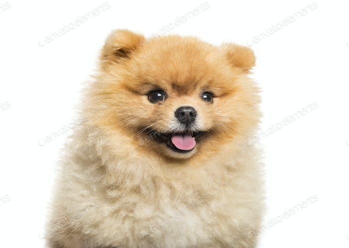 Spitz Dog in front of white background