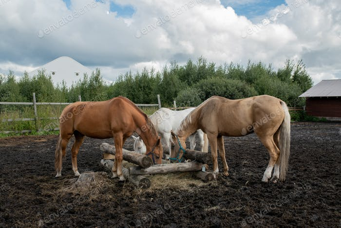 Three young purebred mares standing by wooden trough and eating at rancho