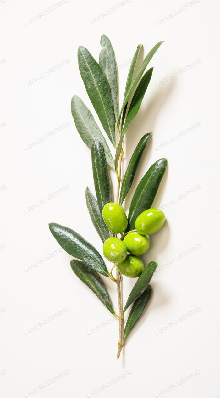 Olive tree twig with raw green olives on white. Closeup vertical top view.