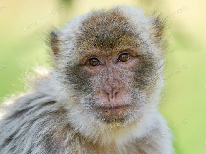 Barbary macaque (Macaca sylvanus)