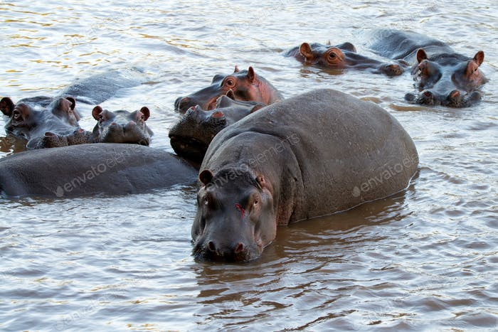 Wounded hippo or Hippopotamus amphibius in water
