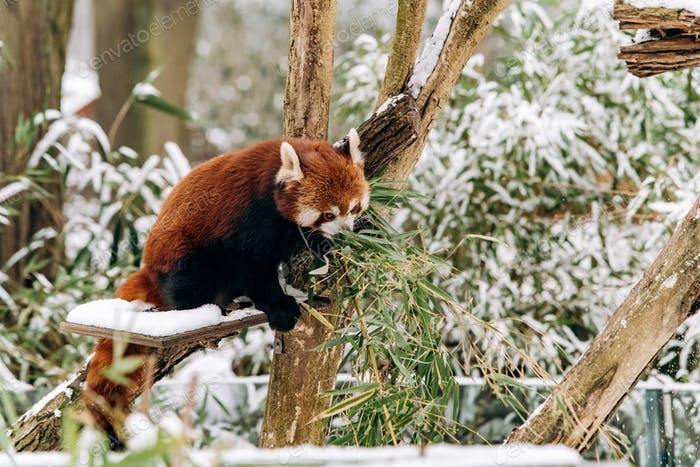 Red Panda climbs a tree in winter with green bushes in the background