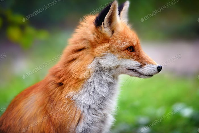 Red Fox Against A Green Nature Background
