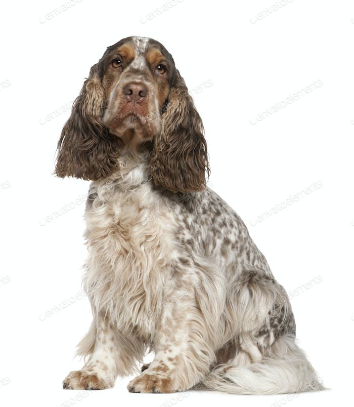 English Cocker Spaniel, 30 months old, sitting in front of white background