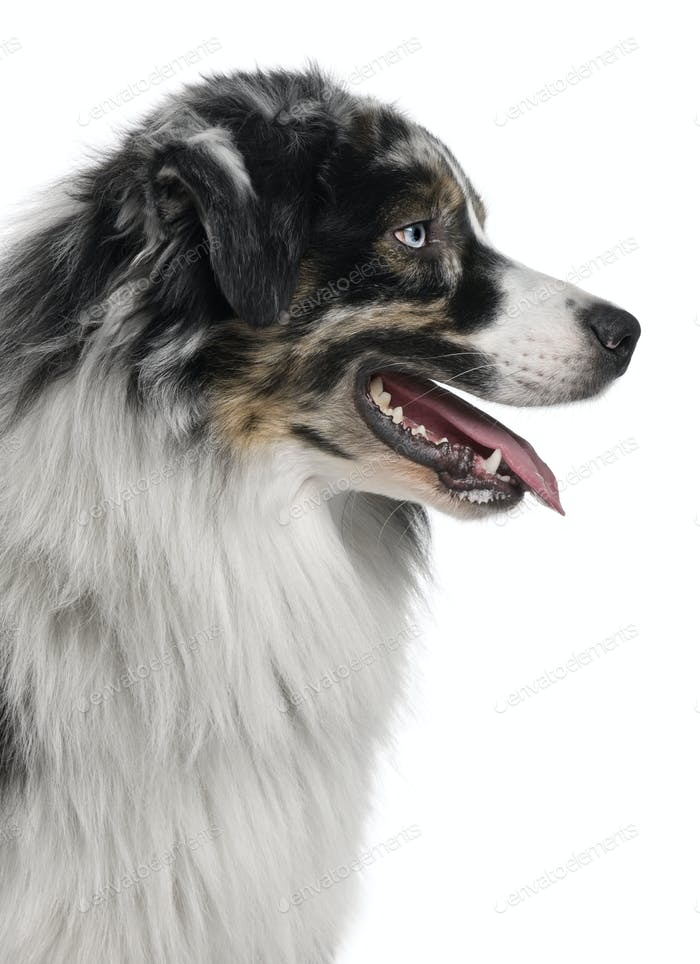 Australian Shepherd dog, 14 Months Old, sitting in front of white background