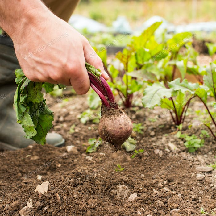 Man pulling fresh beetroot out of the ground in his garden