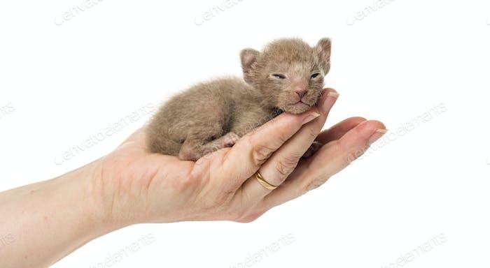 Niedliche kleine Peterbald Katze Kätzchen auf den Händen des Menschen