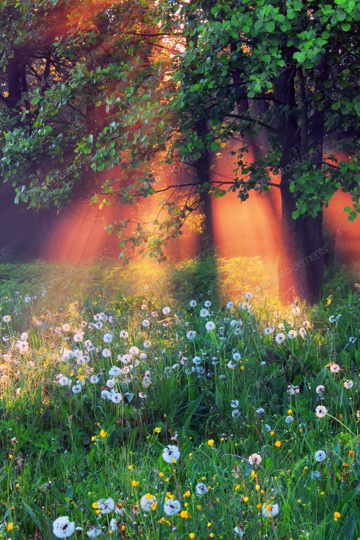 The rays of dawn sunlight pass through the mist of dawn in the woods