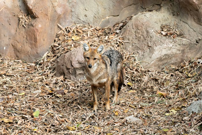 golden jackal in zoo
