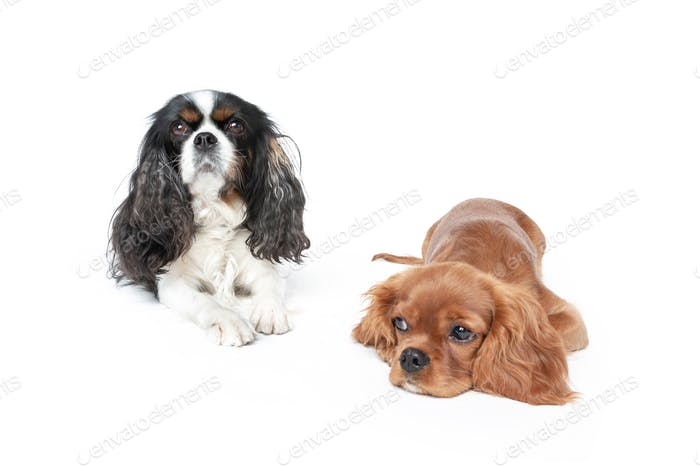 Two spaniels isolated on white