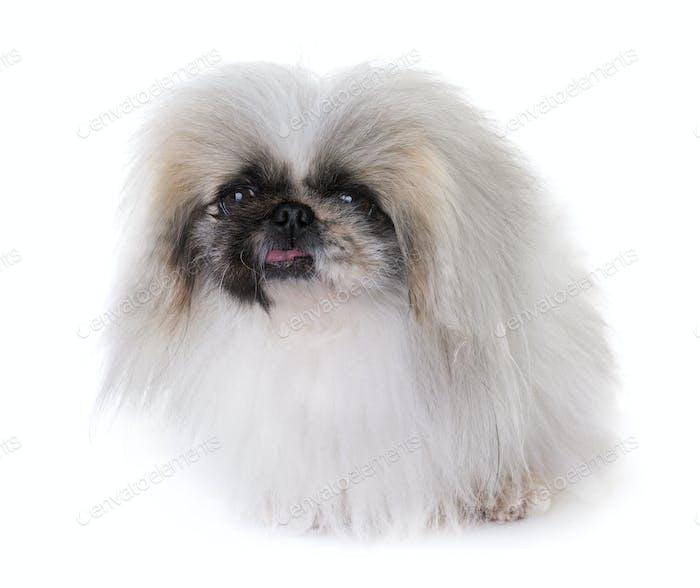 Pekingese Hund im Studio
