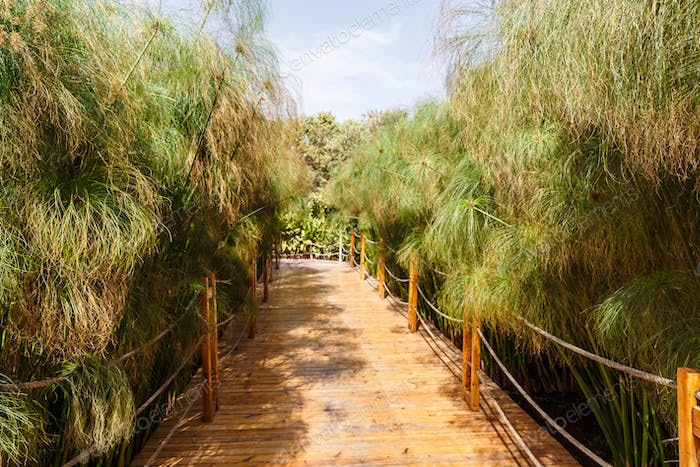 Wooden road through cyperus papyrus green plants