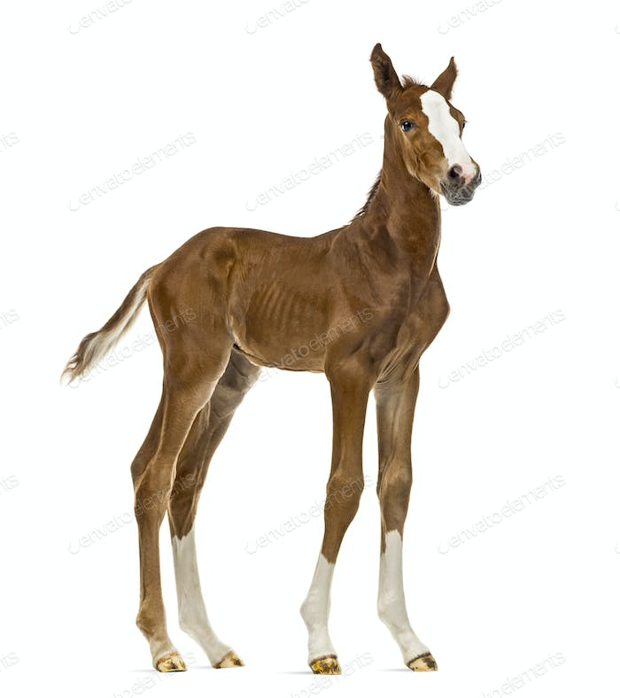 Foal facing isolated on white