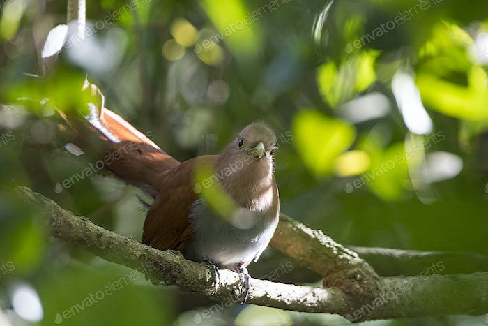 Squirrel Cuckoo in the Forest
