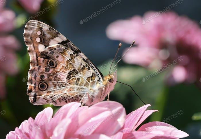 Painted lady butterfly in garden