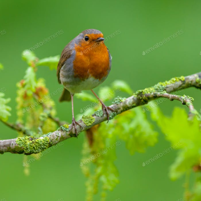 Robin perched on oak branch with fresh leaves