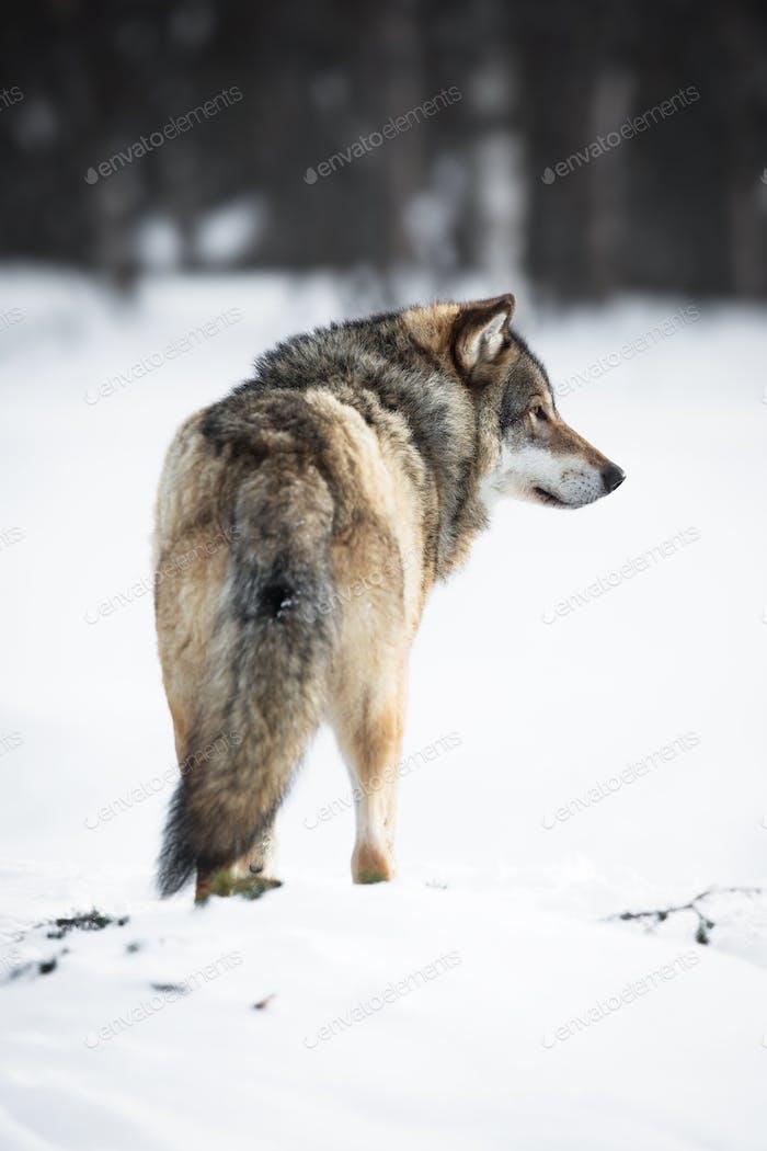 Uno lobo en el Bosque