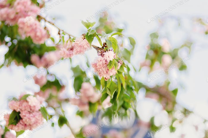 Close-up of pale pink blossom on branch